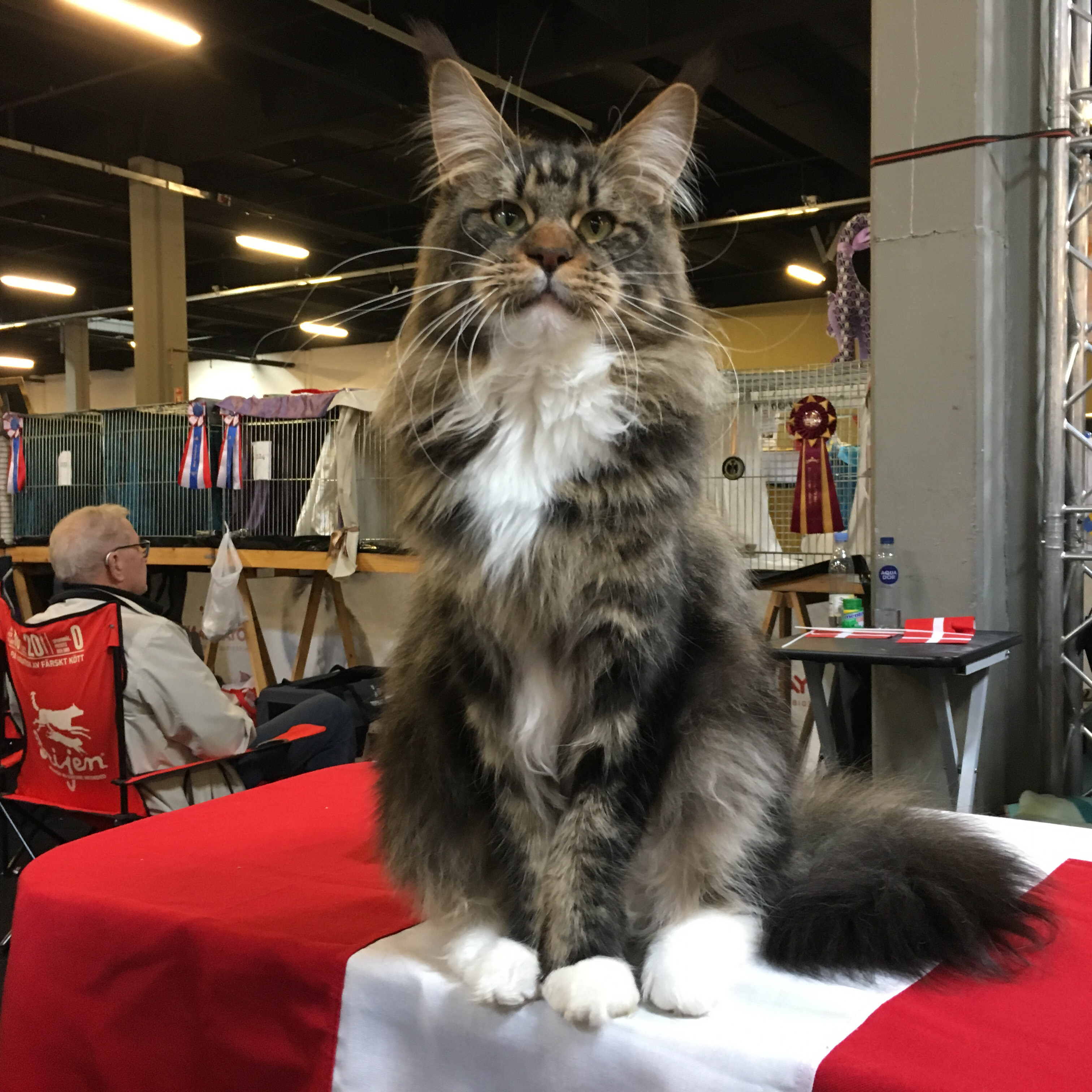 Champion CH Relaxing Tiger´s O'Marcello Ejet af Simone Søderberg
